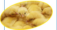 National Chicks, the largest independent producer of day-old chicks
