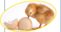 National Chicks expert team is ready to assist and support clients